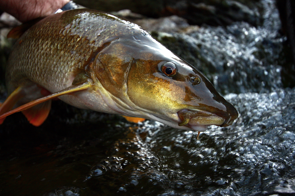 Fishing In Croatia (and in the neighbourhood): Golden ...