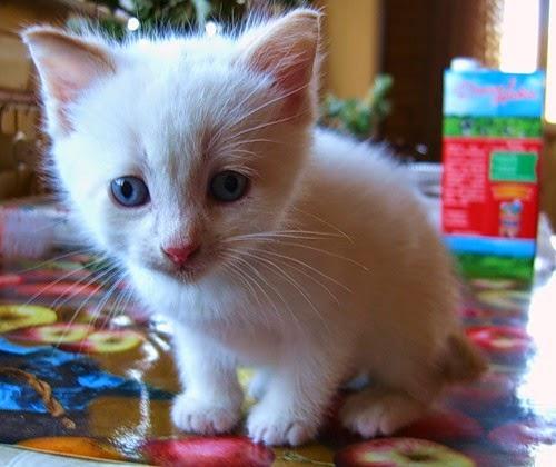 Белый котенок с голубыми глазами