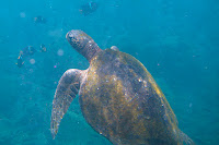 Sea Turtle at Vicente Roca Point, Isabela Island, Galapagos