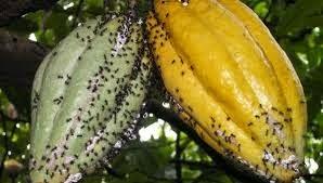 Beberapa Penelitian Tentang Semut Rangrang sebagai Pengendali Hama Alami
