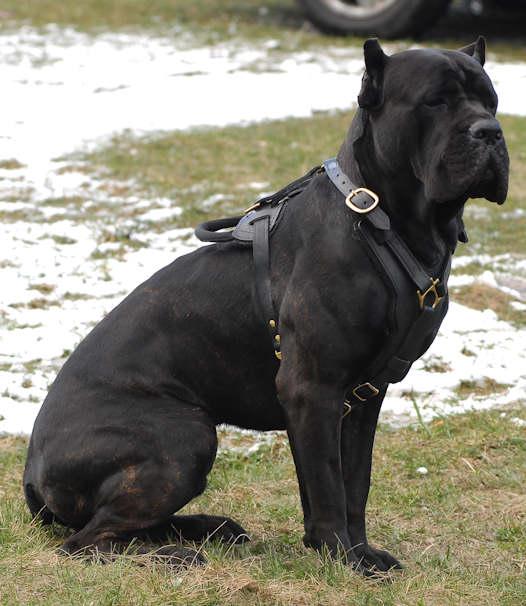 ... Cane Corso Mastiff Rottweiler Mixed Short Coat Photo 3 Photo Bauz Cane