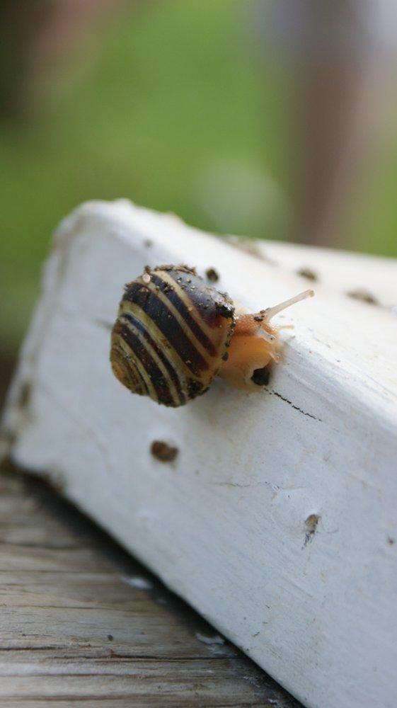 Garden Snail (c) Rebecca D Dillon http://www.soapdelinews.com