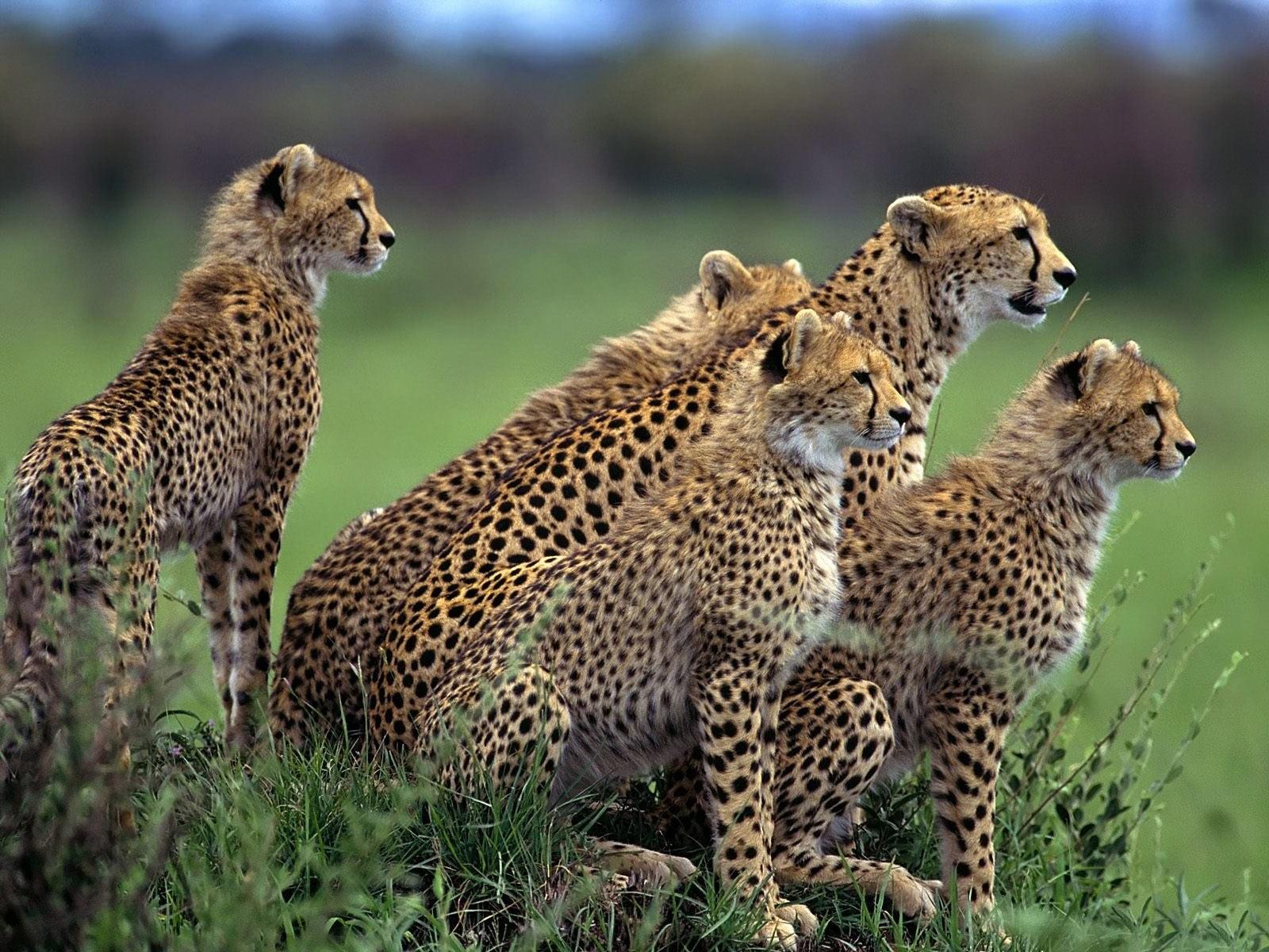 affectionate cheetahs wallpapers - Affectionate Cheetahs Wallpaper HD Wallpapers Storm