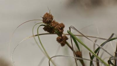 Restionaceae sp