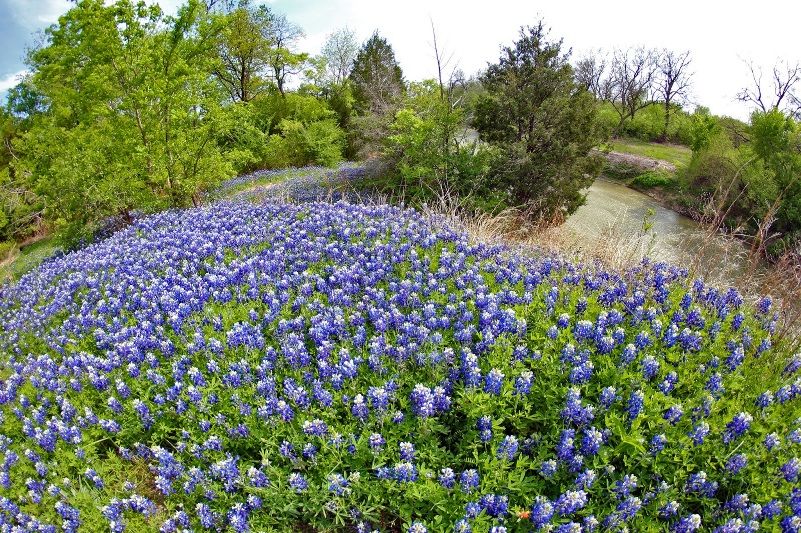 dallas trinity trails texas bluebonnets and early spring