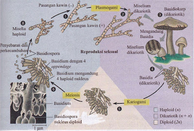 Siklus Reproduksi Basidiomycota