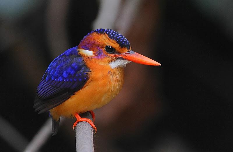 African Pygmy Kingfisher Bird