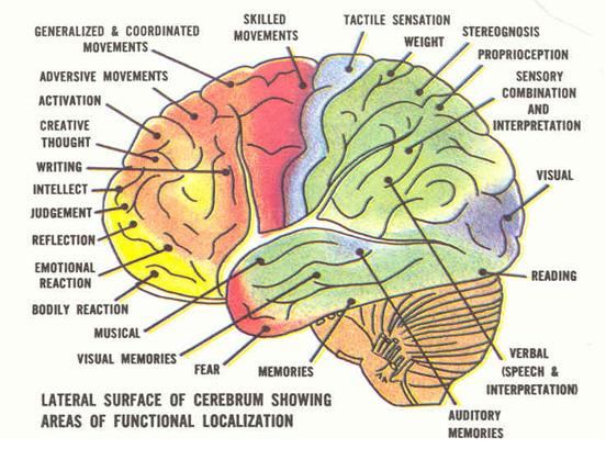 How the human brain works essay