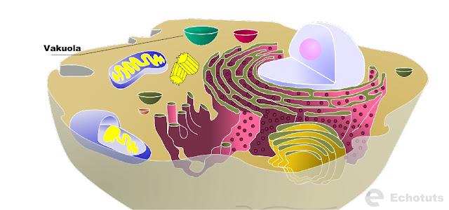 Pengertian dan Fungsi-fungsi dari Vakuola - echotuts