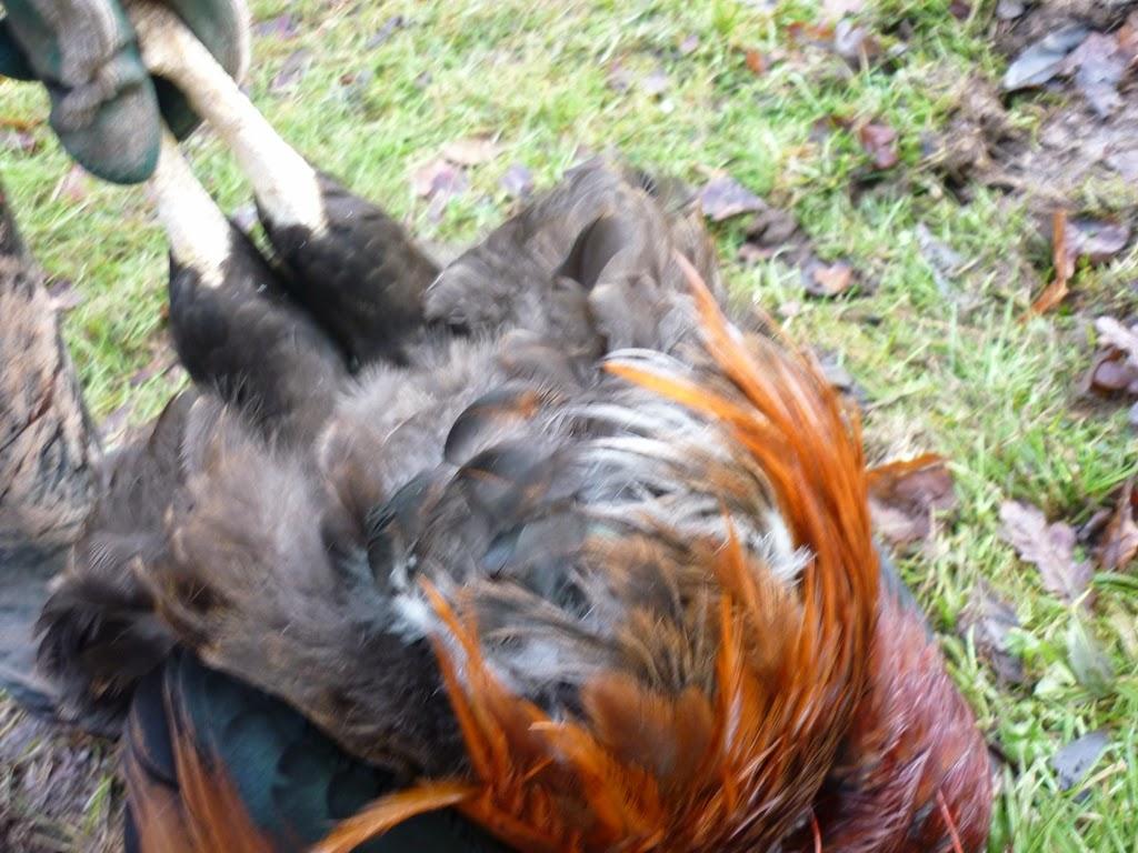 an english homestead killing a cockerel for dinner