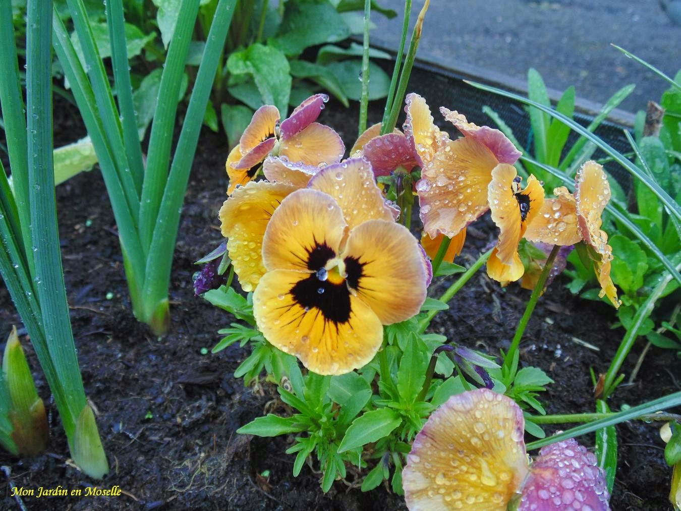 Mon jardin en moselle - Iris ne fleurissent pas ...
