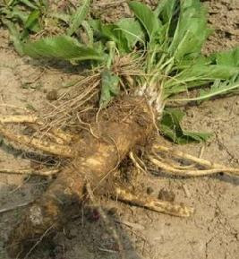 The horseradish plant - not to be confused with the 'horse', the animal