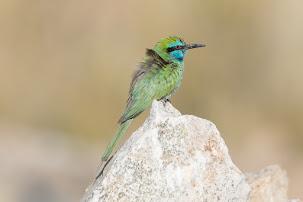 Arabian Green Bee-eater (Merops orientalis cyanophrys)
