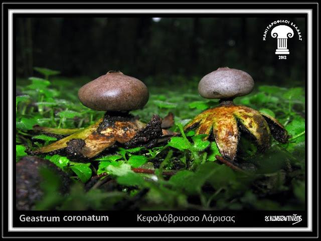 Geastrum coronatum Pers.