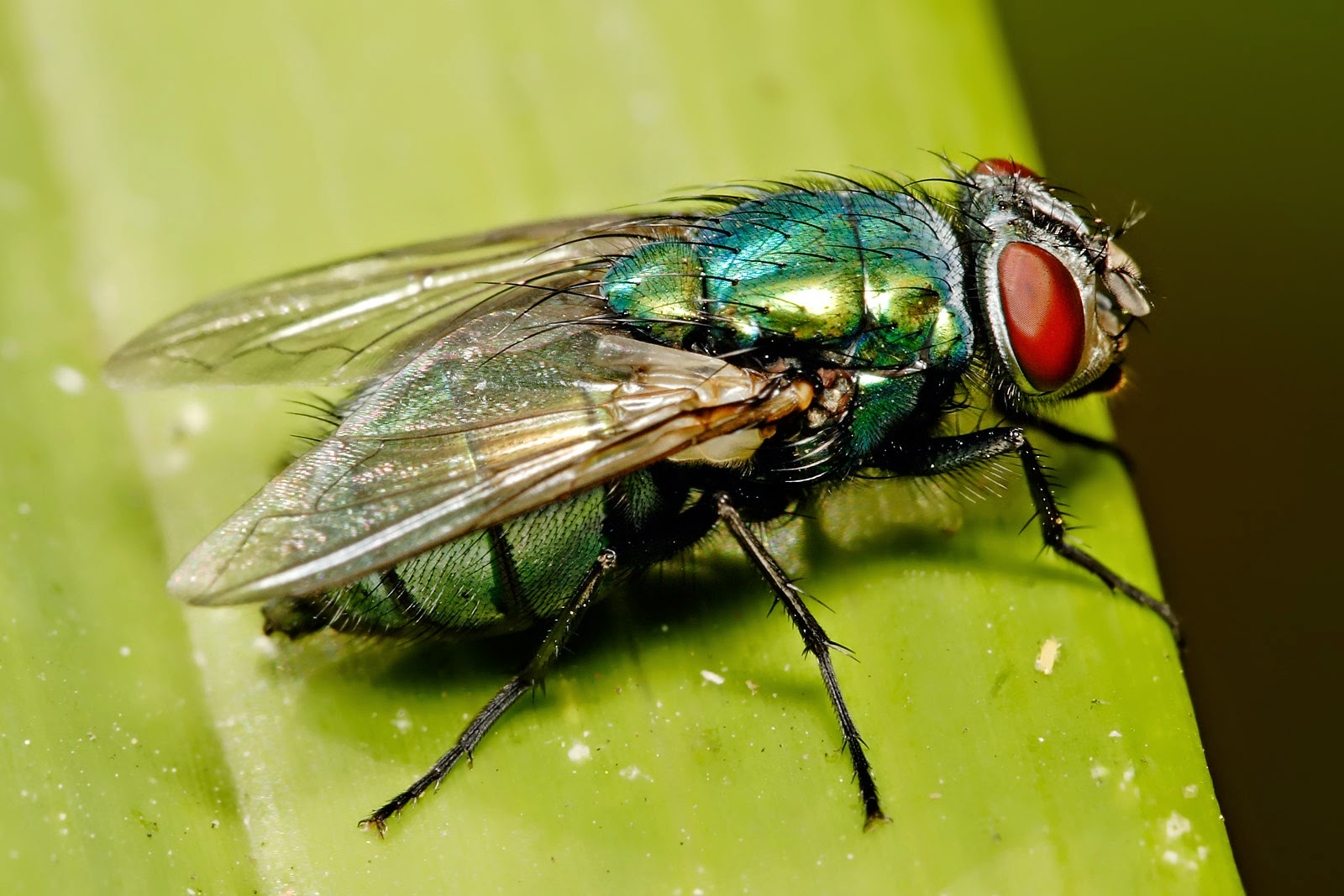 Estudo verificou que 30% dos microrganismos encontrados nos insetos podem causar doenças, como peste bubônica, gastrite, úlcera e câncer de estômago. CC