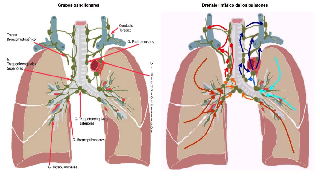 Anatomía 2012 - Ayudante Pablo Prado: Ganglios Linfáticos del Pulmón ...