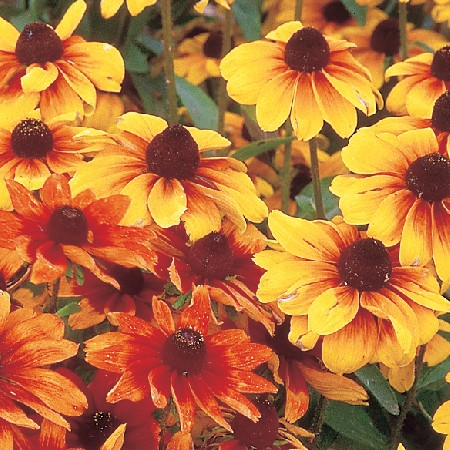 Rudbeckia çiçeği rudbeckia çiçeği