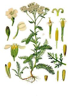 Mil folhas, Achillea millefolium