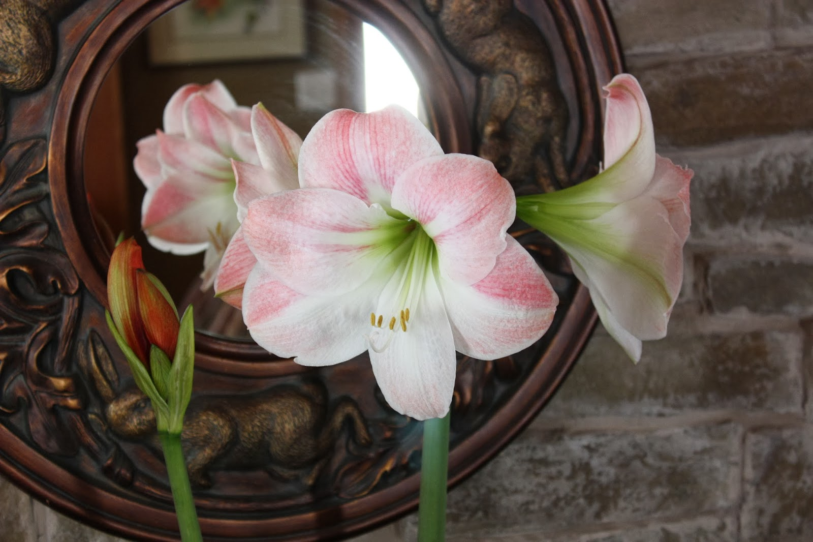 how to grow amaryllis outside