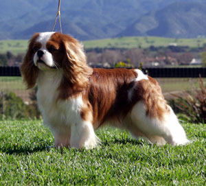 Cavalier King Charles Spaniel Dog Pictures