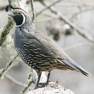 California Quail Bird Pictures