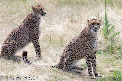 Cheetahs at Orana