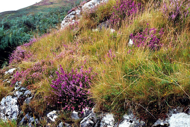 Heather growing in the Scottish Highlands