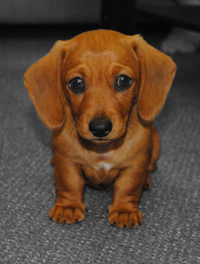 Cute Puppy Dogs: Brown dachshund puppy