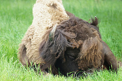 'Sleeping bison' by Carl Wainwright on Flickr