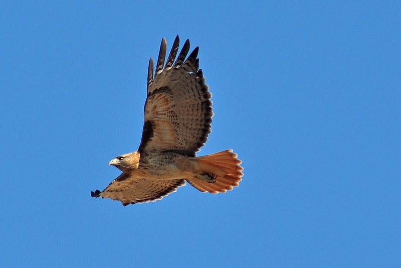 Desert Hawk Animal Hawks In The Desert