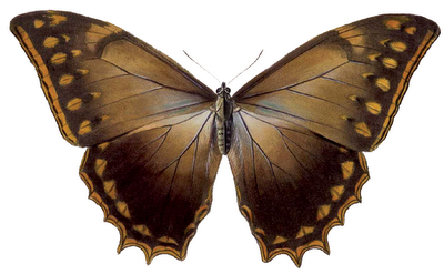 Morpho theseus