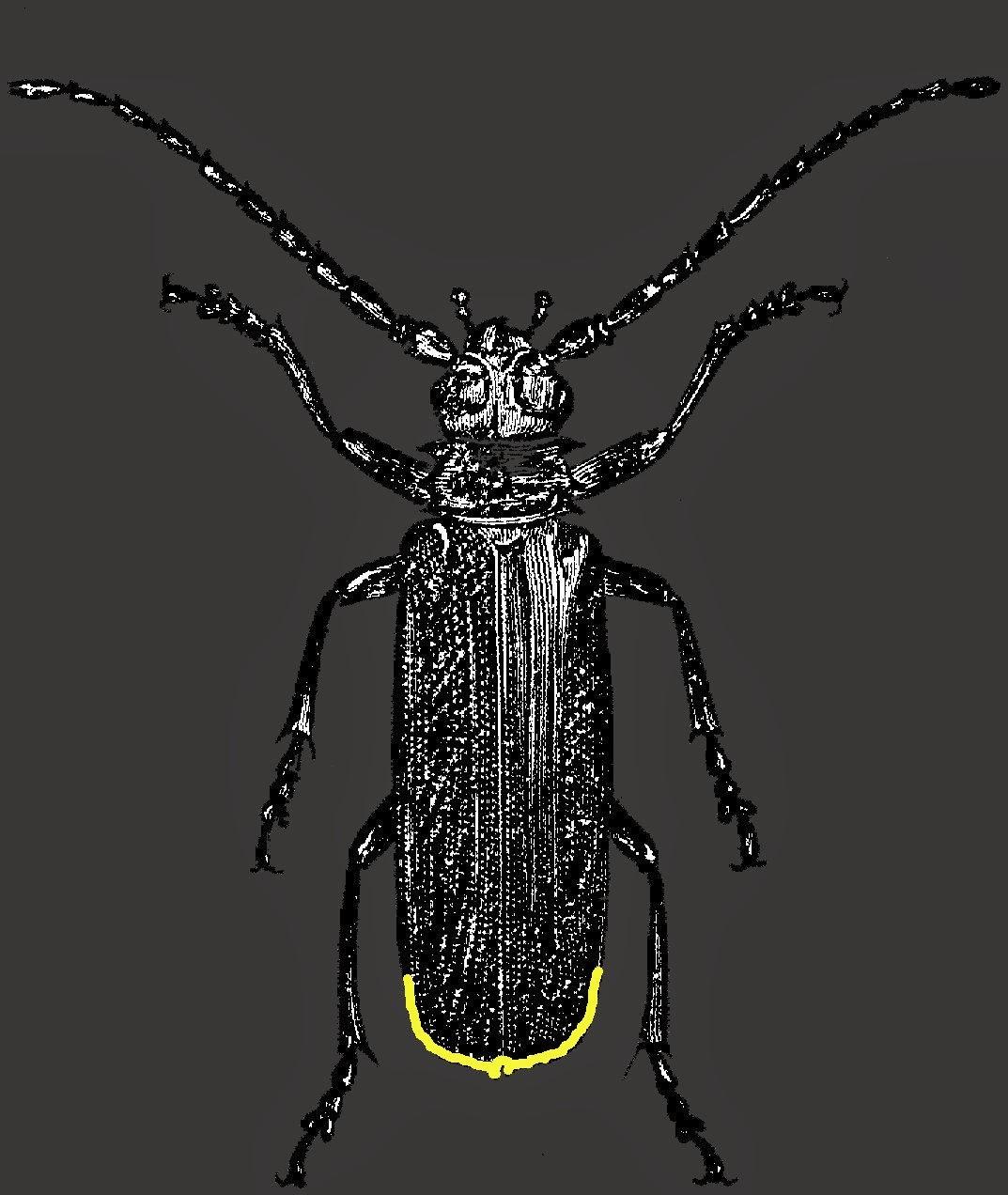 firefly, lightning bug, glow worm, insect, bug, lampyridae