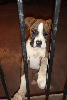 Cute Boxer puppy Elder Kinney came across.