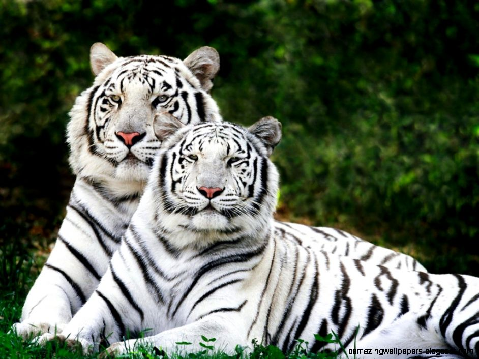 white bengal tigers Wallpaper rhq66 by star love678 on DeviantArt