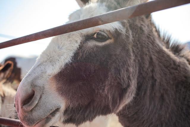 Donkey in Montana