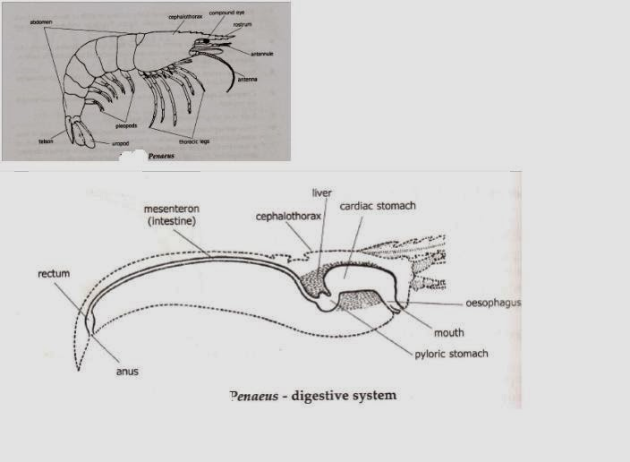 Biology learnspot bsc zoology notes prawn penaeus morphology and other vegetation small insects etce chelate legs collect and pass the food material towards the mouthe mandibles cut the food into small pieces ccuart