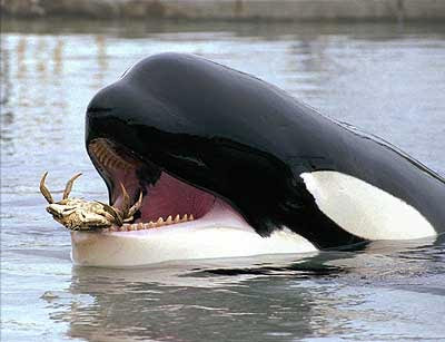 The sheep whisperer orca 39 s whale of a tale for The fish that ate the whale