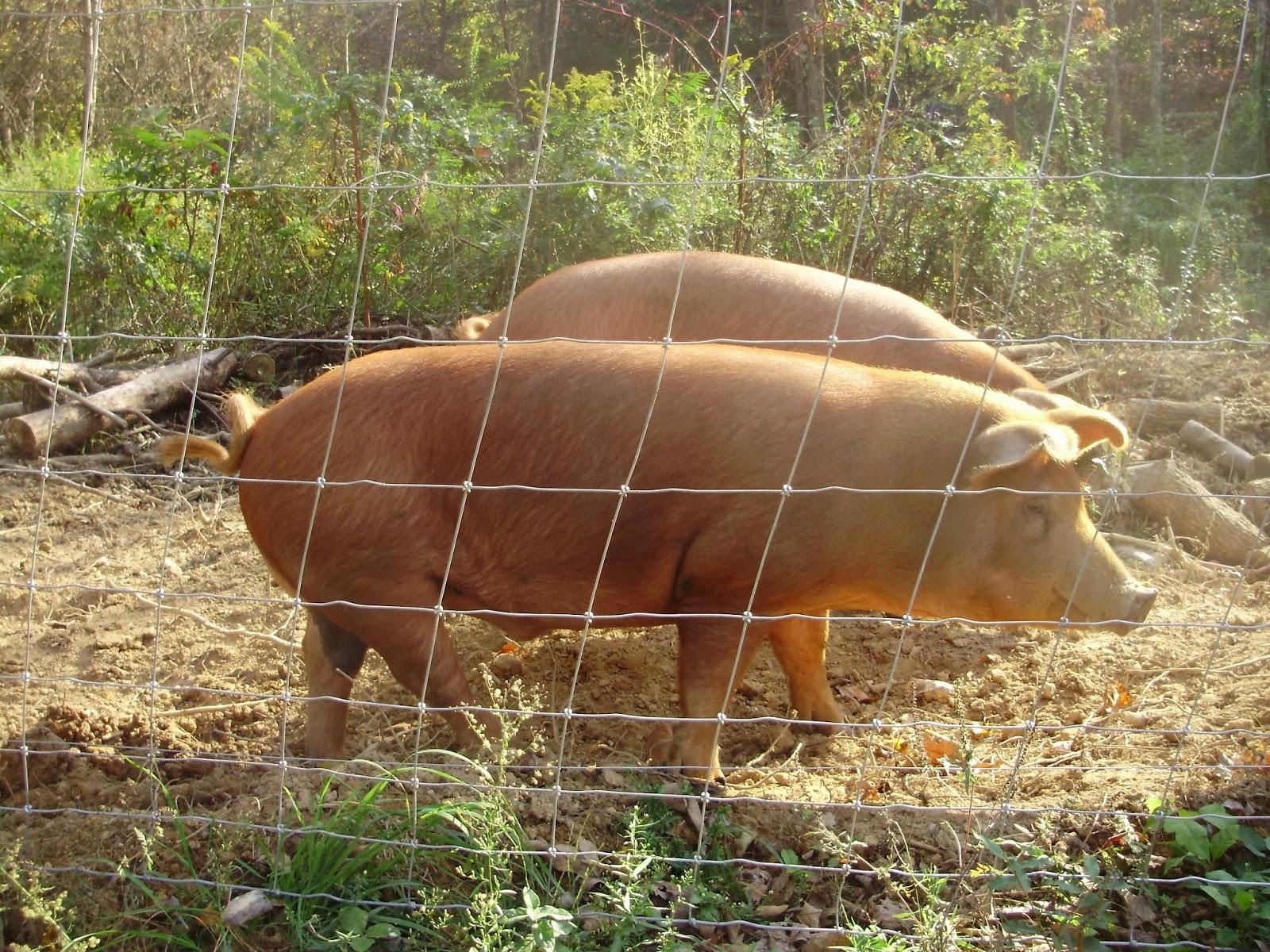 Как зарезать свинью, технология убоя и разделки туши 29
