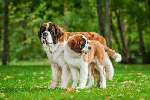 Top 5 Heaviest Dog Breeds