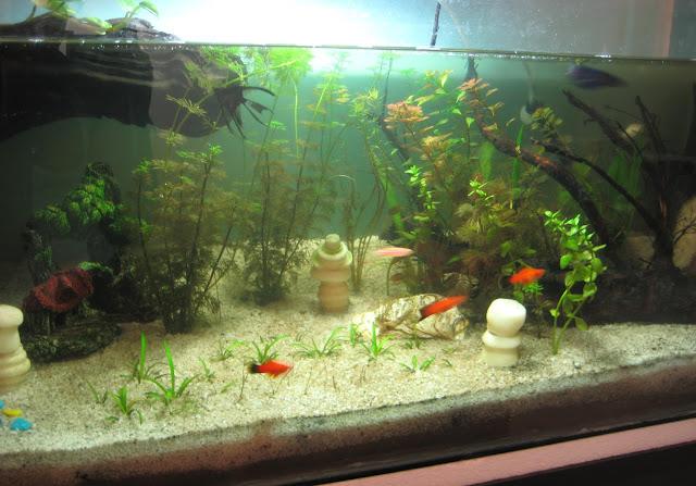 My Fresh Water Aquarium - Natural Planted Tank (Walstad Method).: 5 ...