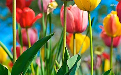 Hình ảnh đẹp của hoa tulip
