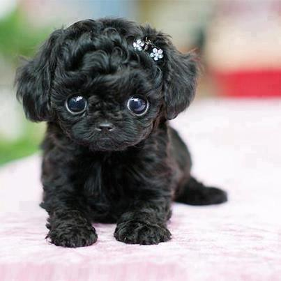 Adorable black little puppy