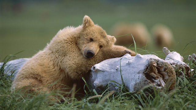 brown bear resting wallpaper