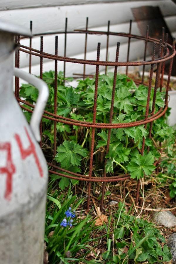 växtstöd armeringsmatta riddarsporre