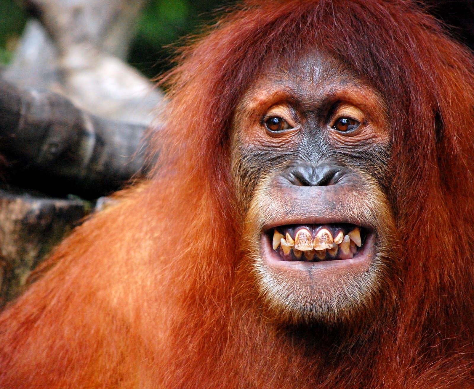 iqramsufeeOrangutan Smiling Teeth