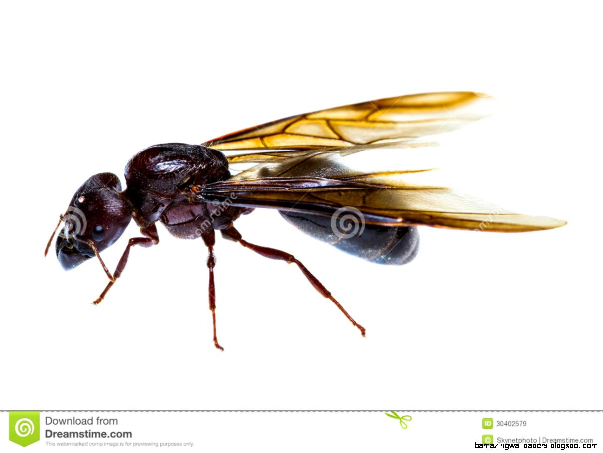 Black Ant Colony With Queen Stock Photo   Image 54008798