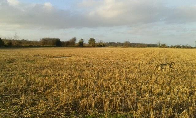 Dog in corn field