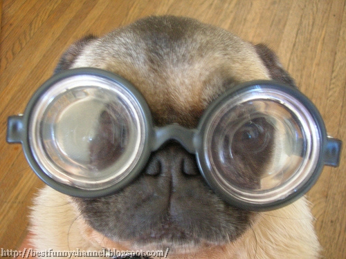 Very funny dog in glasses.