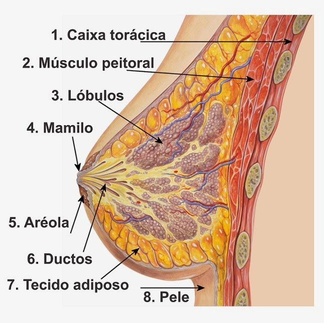 Carcinoma lobular invasivo de mama