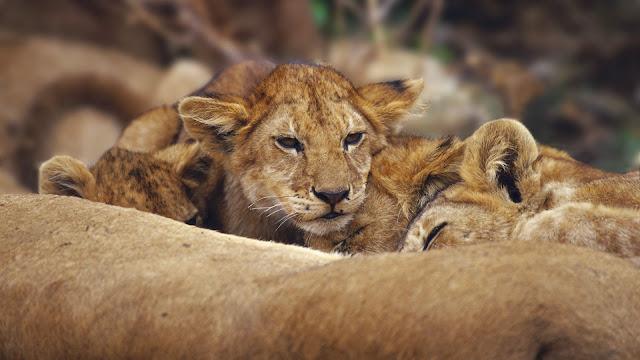 Lions Cubs
